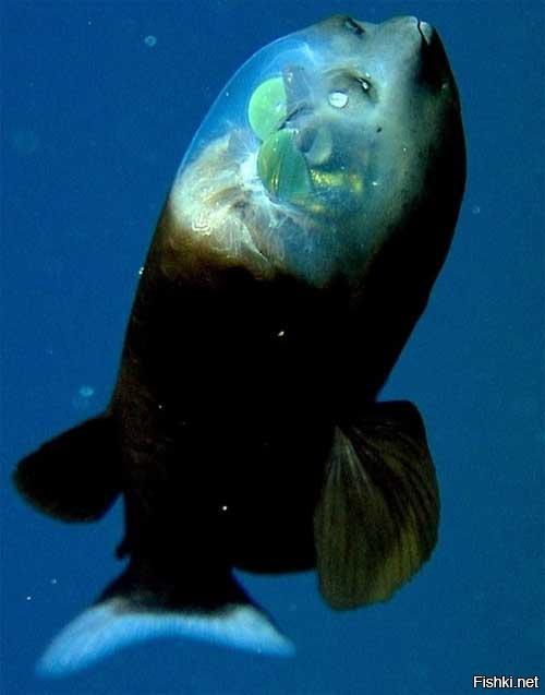 Картинки по запросу рыба с прозрачной головой