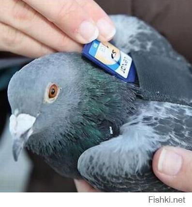 """Продаю почтового голубя (догого). Откликается на кличку """"голубь, собака почты.нет""""  Средняя скорость передачи данных: 60 км/ч.  Укомплектован картой на 1Гб.  Привит в ветеринарной клинике Касперского. Вирусов нет. К спаму не приучен."""